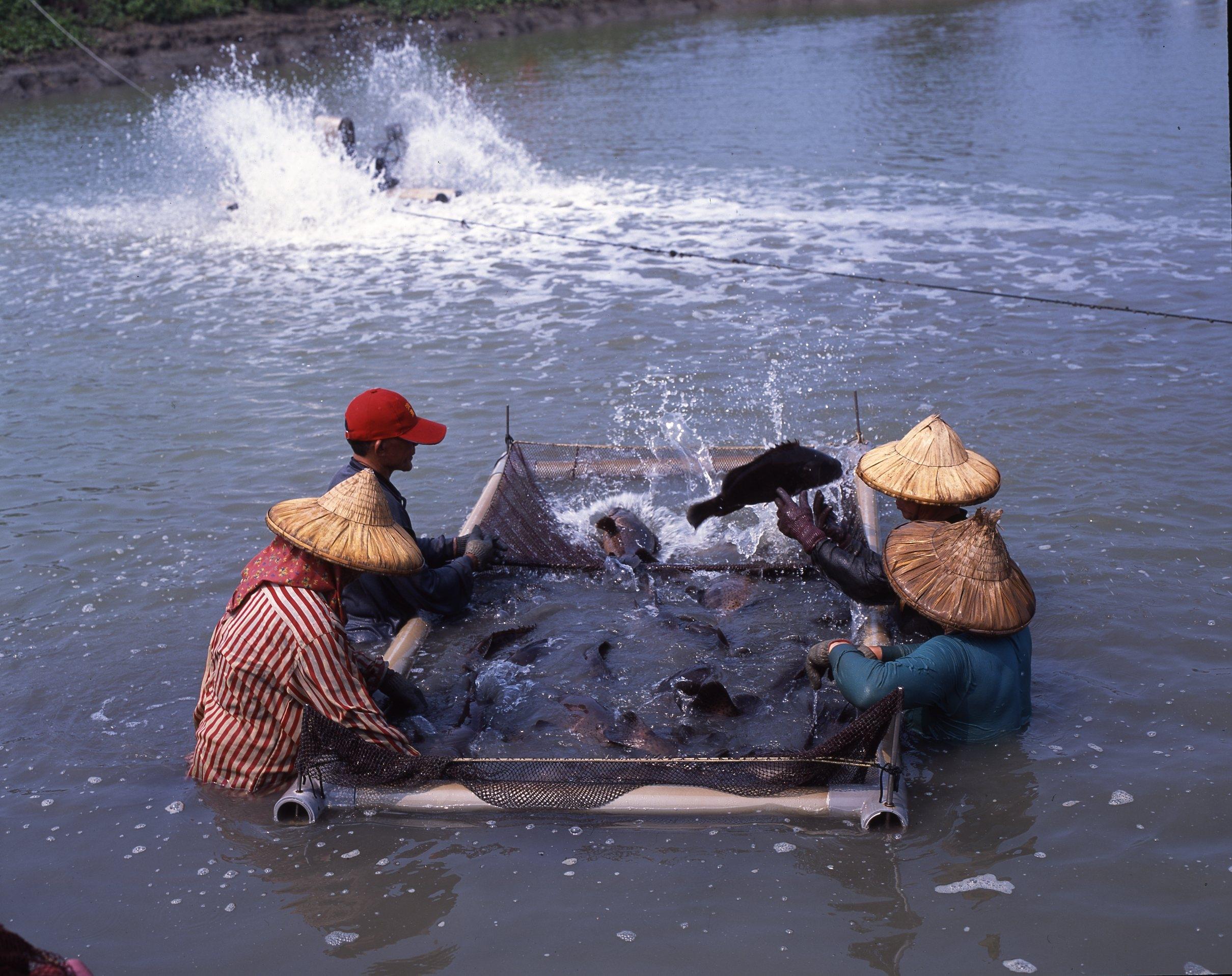 台灣中油冷排水再利用 漁民用鑽石水養殖高經濟魚類